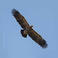 Vidēja auguma, spārnu izpletums ap 150 cm