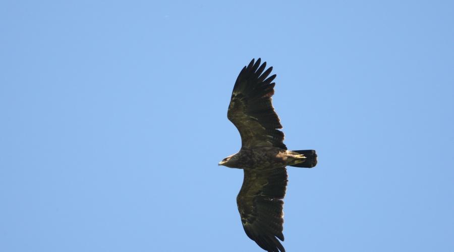 Šogad atrastas vairāk kā 100 mazā ērgļa ligzdas visā Latvijā