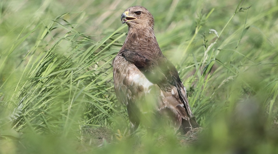 Šovasar atrasts rekordliels mazā ērgļa ligzdu skaits